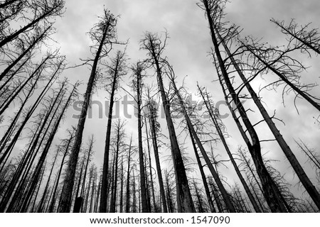 Burnt down pine forest under the cloudy skies in National Glacier Park Montana USA - stock photo