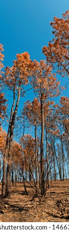 burnt pine trees at a forest after fire against a blue sky background (panoramic view) - stock photo