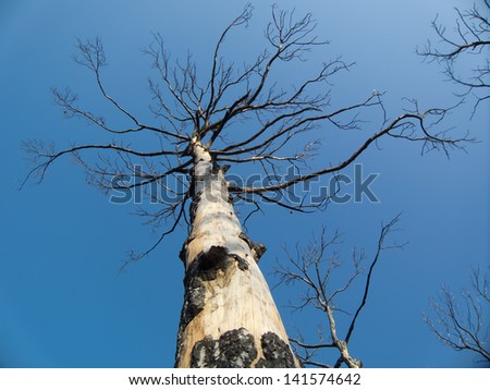 Burnt trees after a forest fire Carmel Israel - stock photo