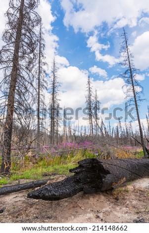 Burnt trees at the rocky mountains in jasper canada - stock photo