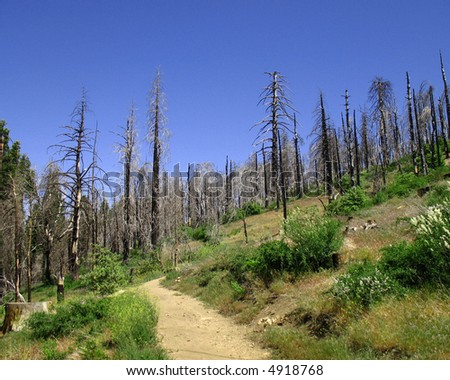 Burnt trees in recovering forest - stock photo