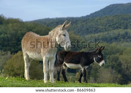 Burros en el prado - stock photo