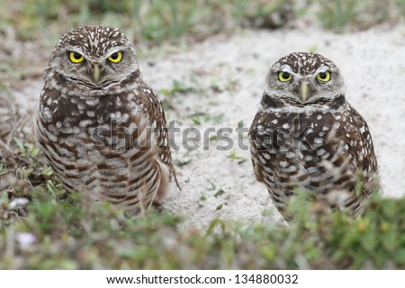 Burrowing Owl (athene cunicularia) by a nest hole in the Florida Everglades - stock photo