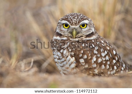 Burrowing Owl - Athene cunicularia Florida - Cape Coral - stock photo