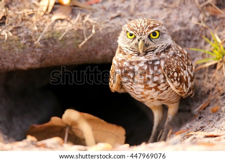 Burrowing Owl (Athene cunicularia) standing on the ground
