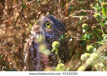 Burrowing Owl closeup. - stock photo