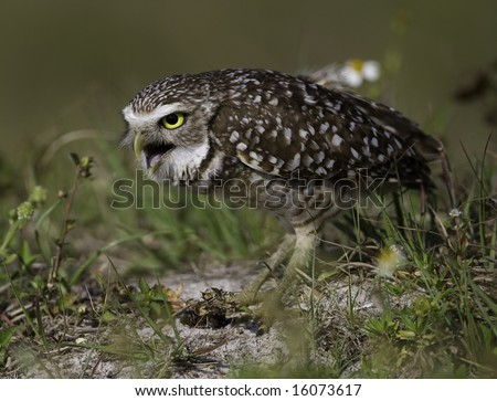 Burrowing Owl expelling a pellet - stock photo