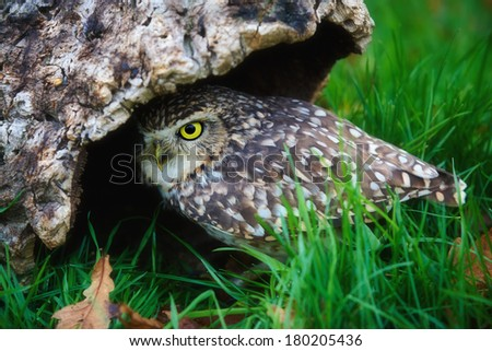 Burrowing owl just before she disappears into a hollow tree - stock photo
