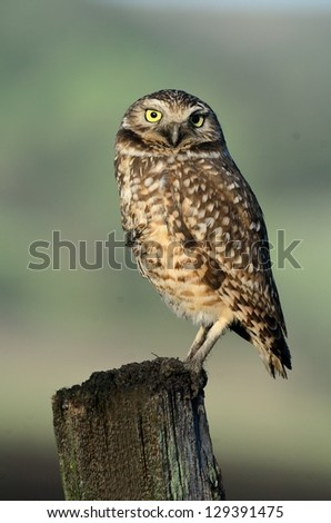 Burrowing Owl On a Post 3