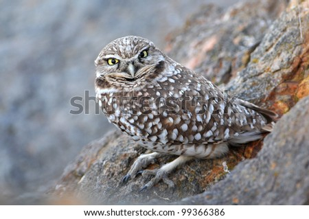 Burrowing Owl perched on rocks - stock photo