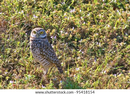 Burrowing Owl scanning the field. - stock photo