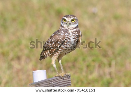 Burrowing Owl stands on his perch. - stock photo