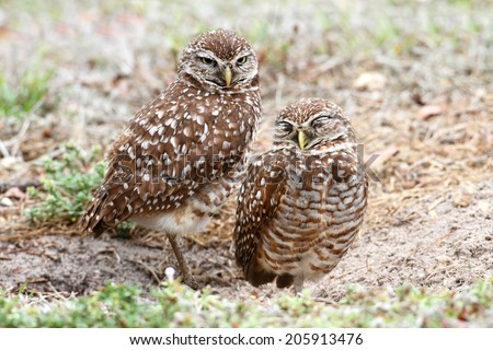 Burrowing Owls (athene cunicularia) by a nest hole in the Florida Everglades - stock photo