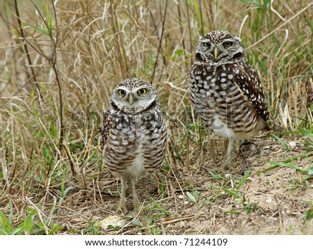 Burrowing Owls (Athene cunicularia) in Cape Coral, Florida - stock photo