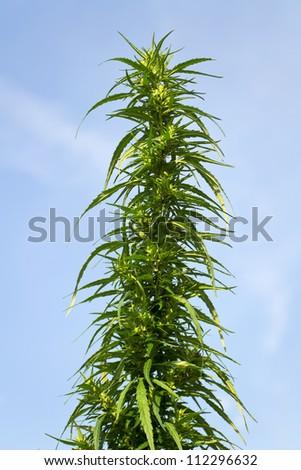 bush cannabis in the sky - stock photo