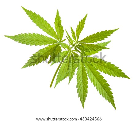 Bush cannabis isolated on white background