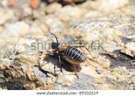 bush cricket, typical of the Sierra de Madrid - stock photo