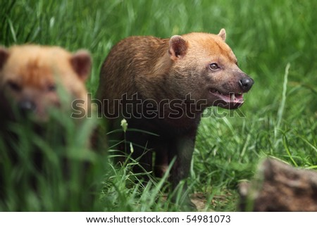 bush dog - Speothos venaticus in Chester zoo - stock photo