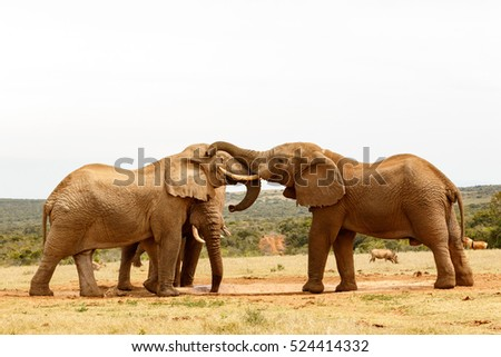 Bush Elephants playing with their trunks