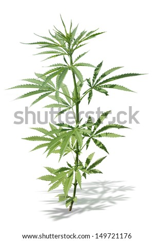 Bush hemp on a secluded white background - stock photo