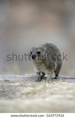 Bush hyrax or Yellow-spotted rock dassie,  Heterohyrax brucei, single mammal on rock, Tanzania