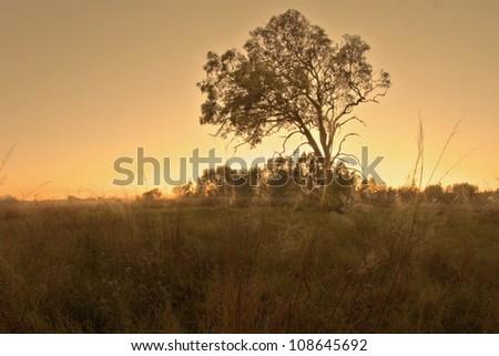 bush land gum tree landscape in bondall wetlands brisbane - stock photo