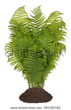 Bush of a magnificent vertical forest fern for  Halloween collages. Isolated on white - stock photo