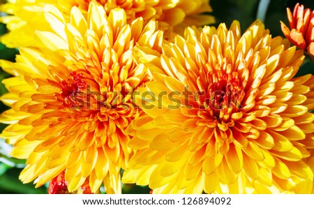 Bush of beautiful orange autumn chrysanthemum flowers