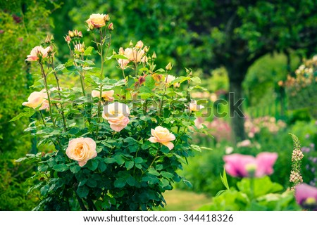 Bush of beautiful roses in a garden. Filtered shot - stock photo
