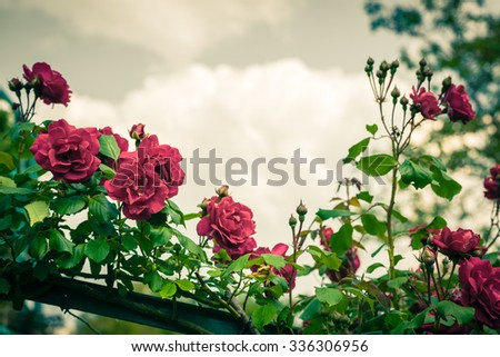Bush of beautiful roses in a garden. Filtered shot with a copy space - stock photo