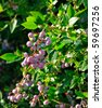 bush of blueberries - stock photo