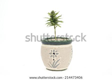 Bush of cannabis grown indoor - stock photo
