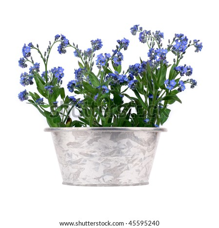 bush of forget-me-nots in metal pot on white background
