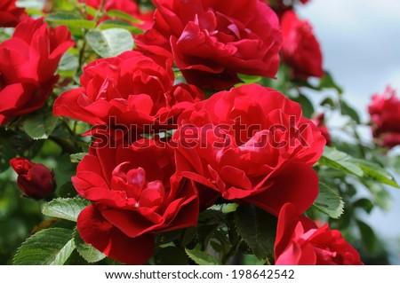 Bush of red climbing roses in a garden - stock photo