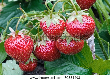 Bush of red strawberry growing in a garden. Closeup - stock photo
