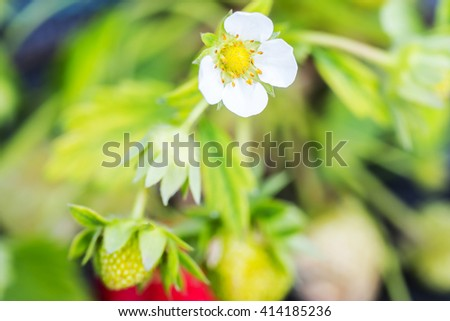bush of strawberry with flower and strawberry fruit - stock photo