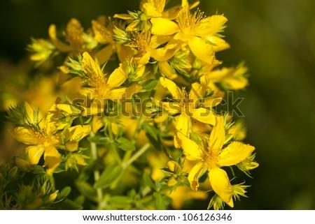 bush of yellow herb St -John's -wort's - stock photo