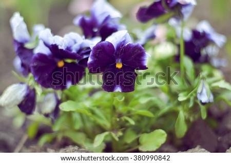 bush pansy (pansies, viola, Viola tricolor) close up.selective focus. - stock photo