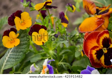 bush pansy (pansies, viola, Viola tricolor) close up. selective focus.bright flowers in the garden in spring viola. Landscaping, rockery - stock photo