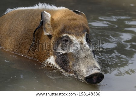 bush pig, Potamochoerus porcus pictus - stock photo
