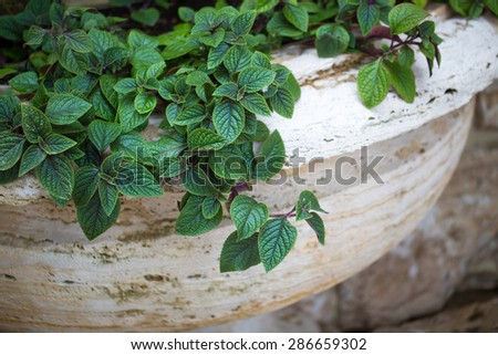 bush plant foliage leaves green flower - stock photo