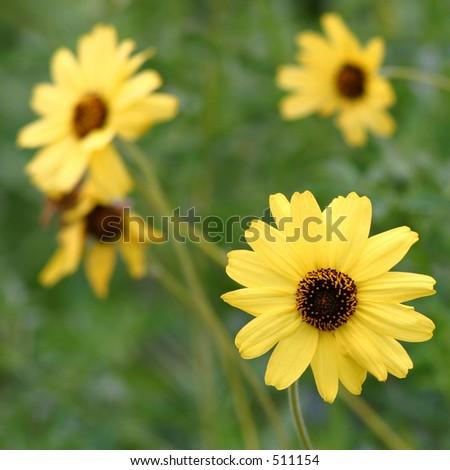 Bush Sunflowers - stock photo