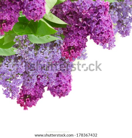 Bush with fresh  lilac flowers  isolated on white background - stock photo