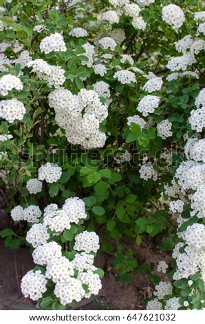 Bush white flowers stock photo download now 647621032 shutterstock bush with white flowers mightylinksfo