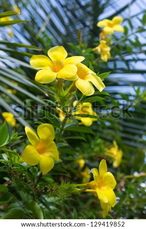 Bush yellow tropical flowers (Yellow Plumeria) on green stems against a blue sky - stock photo