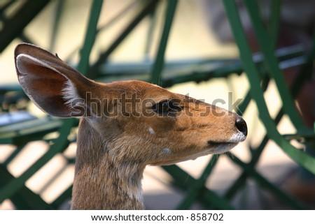 Bushbuck at picnic site - stock photo