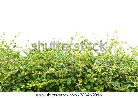 Bushes fence leaves green on white background - stock photo