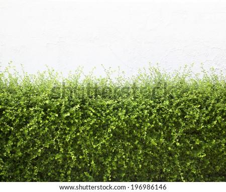 Bushes fence leaves green White plaster walls - stock photo