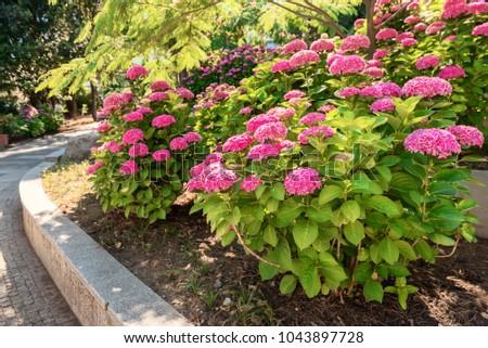 Bushes Hydrangea Different Grades Garden Park Stock Photo 1043897728 ...