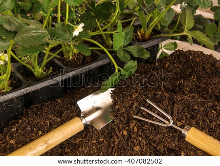Bushes of strawberry in containers, prepared ground and small garden tools with wooden handles (spatula and rake).  Gardening concept.